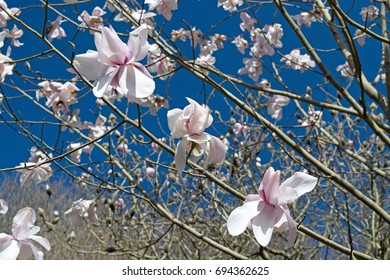 Pink magnolia against blue sky