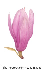 pink magnolia flower isolate on white
