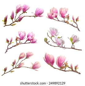 pink magnolia flower isolated on white background