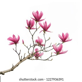 pink magnolia flower spring branch isolated on white background