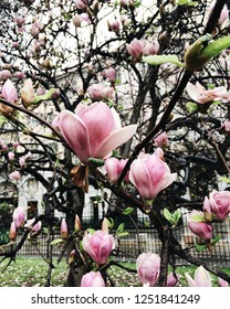 Pink magnolia flowers in bloom