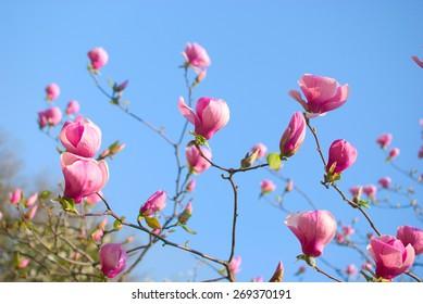 Pink magnolia flowers blooming in botanical garden