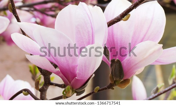 Pink magnolia flowers blooming on magnolia tree branches. (Magnolia soulangeana)