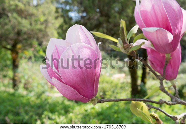 Pink Magnolia flowers blossoming in spring time