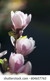 The pink magnolia flowers on a sunny day