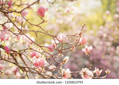pink magnolia flowers in the sunrise