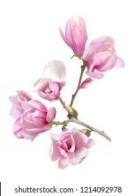 pink magnolia isolate on white