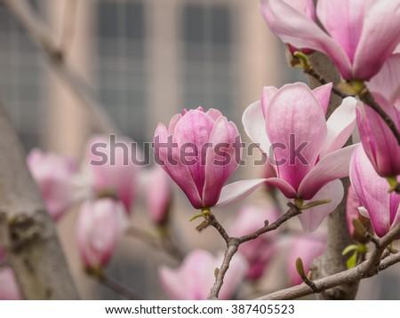 Pink Magnolia Magnolia Liliiflora Tulip Tree Stock Photo Edit Now