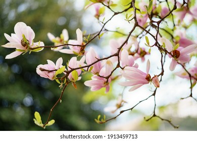 Pink magnolia petals close-up on the branches.