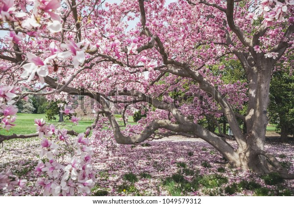 Pink Magnolia Tree Full Bloom During Stock Photo Edit Now 1049579312