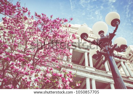 Pink Magnolia Trees Outside Government Buildings Stock Photo Edit