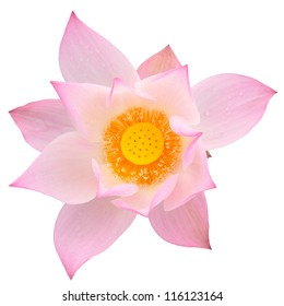 Pink majestic lotus isolated on white background