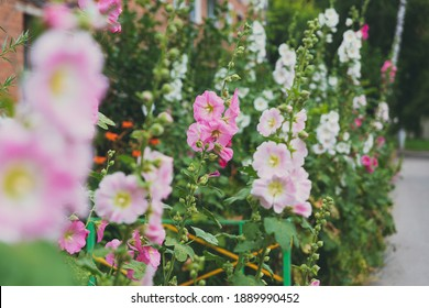 Pink mallow flower in a flowerbed against a background of green leaves
