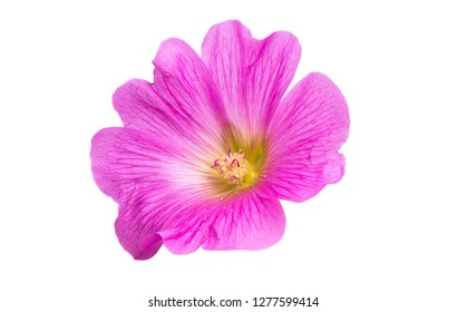 pink mallow flower isolated on white background