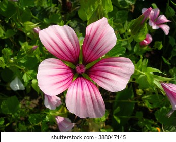 Pink mallow flowers in the garden (close up).