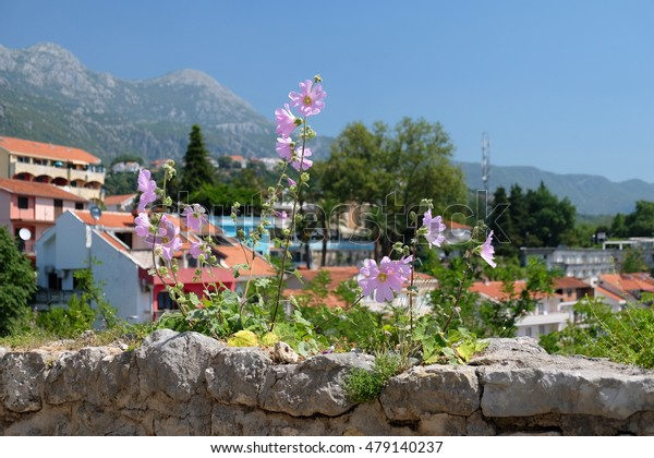 Pink mallow flowers growing on stone fortress wall in town Herceg Novi, Montenegro