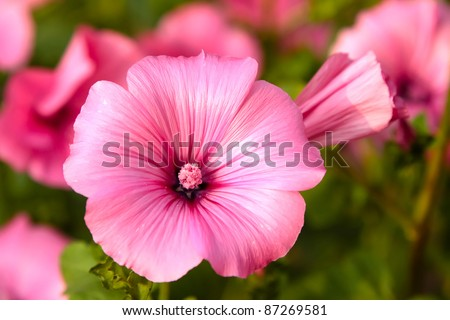 Pink Mallow Flowers Home Garden Stock Photo Edit Now 87269581