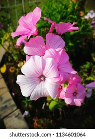 pink mallow in the garden