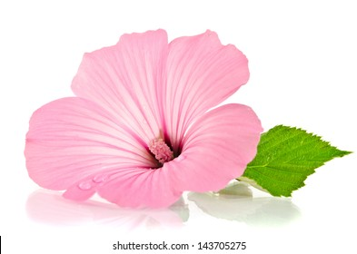 Pink malva. Mallows