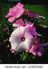 pink malva with water drops