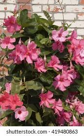 Pink Mandevilla Blooms
