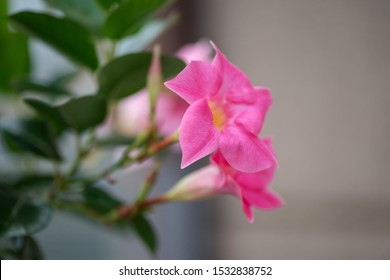 Pink Mandevilla sanderi flower on the table in the garden. - Image