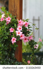 Pink mandevilla sanderi flowers climbing on woody pole. Rocktrumpet blooms.