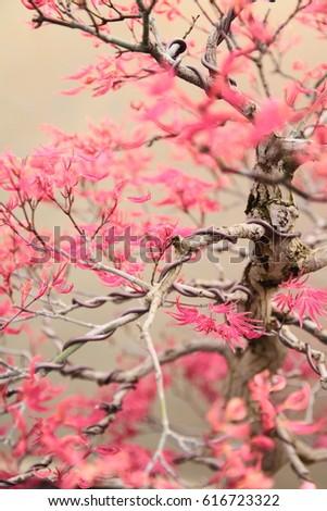 Awe Inspiring Pink Maple Bonsai Tree Wires Shaping Stock Photo Edit Now Wiring 101 Ferenstreekradiomeanderfmnl