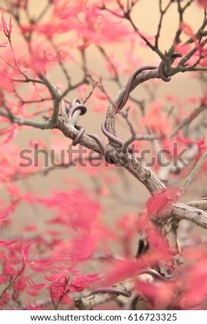 Super Pink Maple Bonsai Tree Wires Shaping Stock Photo Edit Now Wiring Digital Resources Dylitashwinbiharinl
