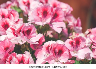 pink martha washington geraniums