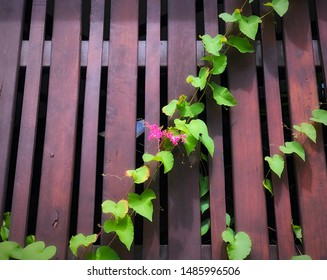 Pink Mexican Creeper at wood fence.
