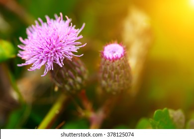 pink milk thistle flower in bloom in summer morning. Shallow depth of field.