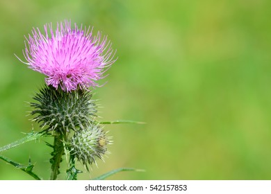 Pink milk thistle flower in bloom. Milk Thistle plant (Silybum marianum) herbal remedy, Saint Mary's Thistle macro over green background.