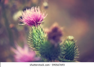 pink milk thistle flower in bloom in summer morning