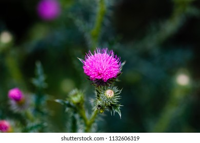 Pink milk thistle flowers in wild natur ( Silybum marianum herbal remedy, Saint Mary's Thistle, Marian Scotch thistle,  Mary Thistle, Cardus marianus,  Mediterranean milk cardus marianus )
