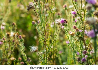 Pink milk thistle flowers in wild natur with bee collecting pollen (Silybum marianum herbal remedy, Saint Mary's Thistle, Mary Thistle, Cardus marianus, Mediterranean milk cardus marianus)