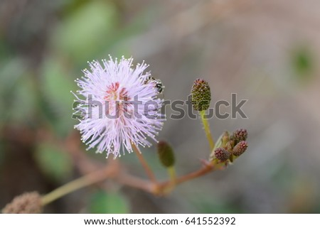 Pink Mimosa Flower Stock Photo Edit Now 641552392 Shutterstock