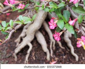 Pink Mock Azalea is flowering plant in the dogbane family, Adenium obesum (Desert Azalea, Sabi Star, Impala Lily, Kudu Lily) has long been used as a poison. its has a beautiful root.