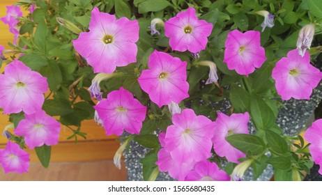 ฺBeautiful Pink morning Glory Flowers