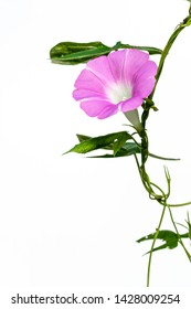 Pink morning glory shot on a white background.