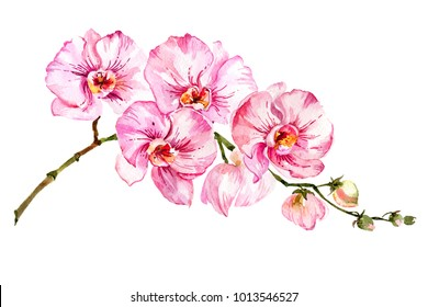 Pink moth orchid (Phalaenopsis) flower on a twig.  Isolated on white background.  Watercolor painting. Hand drawn.