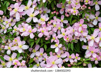 Pink Mountain clematis (Clematis montana) flowers in spring