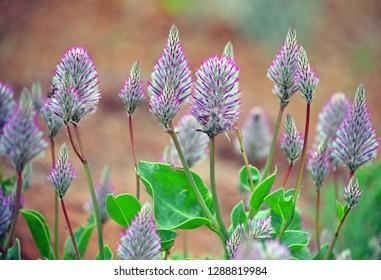 Pink Mulla Mulla feathery flowerheads, Ptilotus exaltatus, family Amaranthaceae. Endemic to arid and semi-arid regions of Australia. Spring and summer flowering.