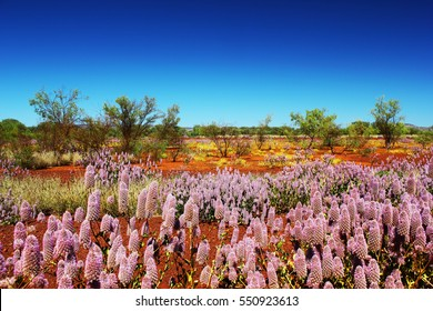 Pink Mulla Mulla Wildflowers blooming in Australian Outback