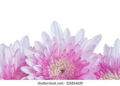 Pink Mum flowers isolated on white background