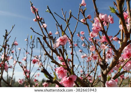 Nectarine Flower Images