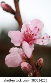 Pink nectarine flower in the rain
