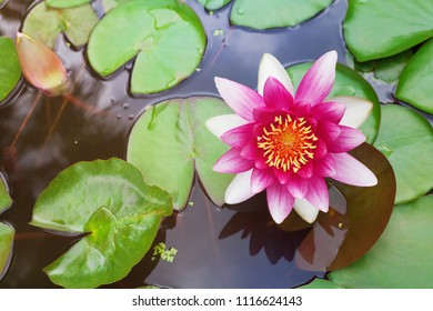 Pink nenuphar or water lily in pond.