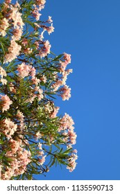 Pink nerium oleander flowers against bright clear blue sky. Selective focus.