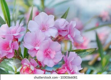 Pink oleander detail
